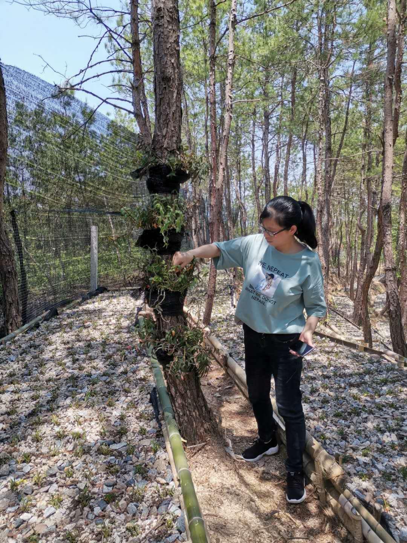 霍山当地斛农揭露铁皮石斛一斤多少钱或一克与种植生活