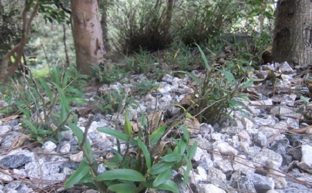 2021年最新霍山石斛价格,怎样辨别霍山石斛是仿野生的
