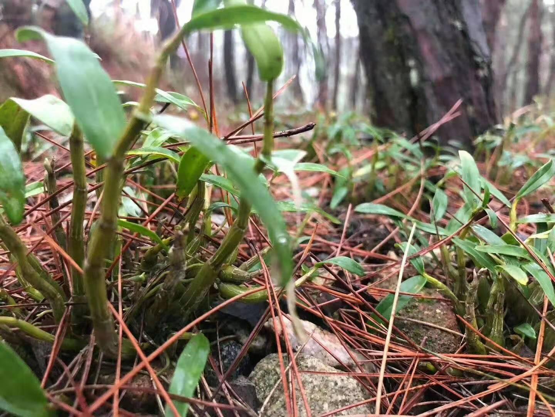霍山铁皮石斛的功效与作用竟然在虫草之上