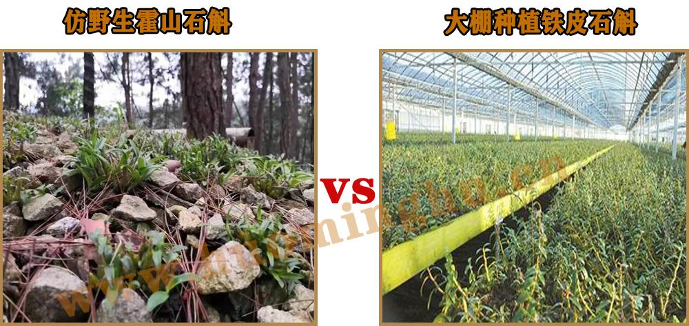 野生石斛和大棚石斛,怎么区分野生石斛和种植石斛