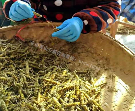 霍山石斛有没有效果,怎样吃才是最正确的
